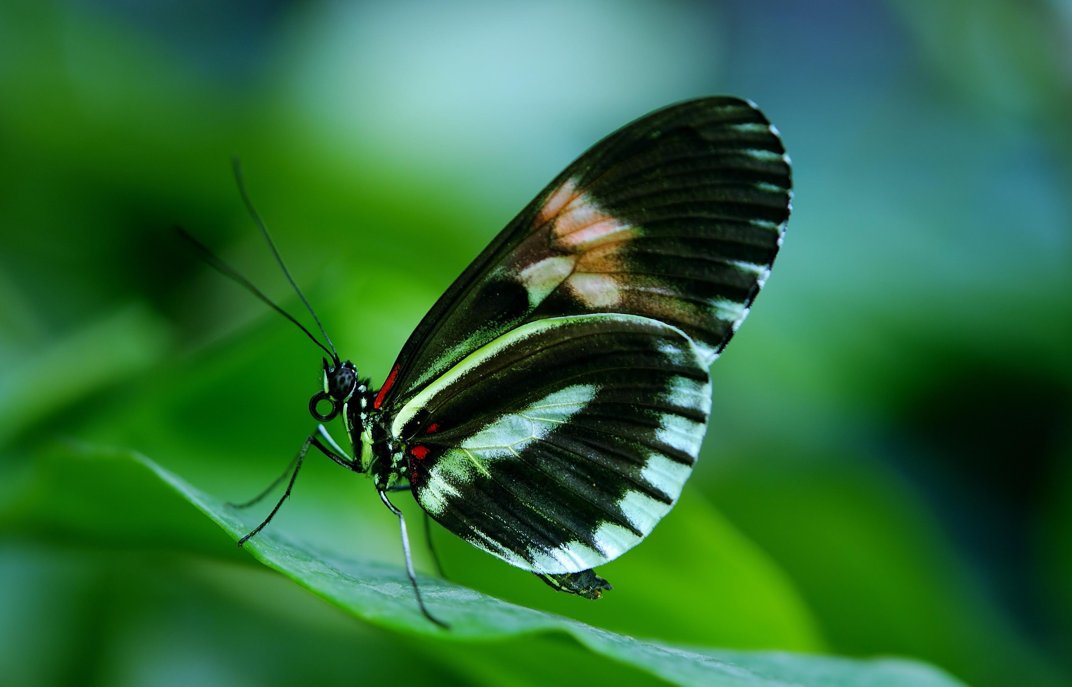 Motylek II