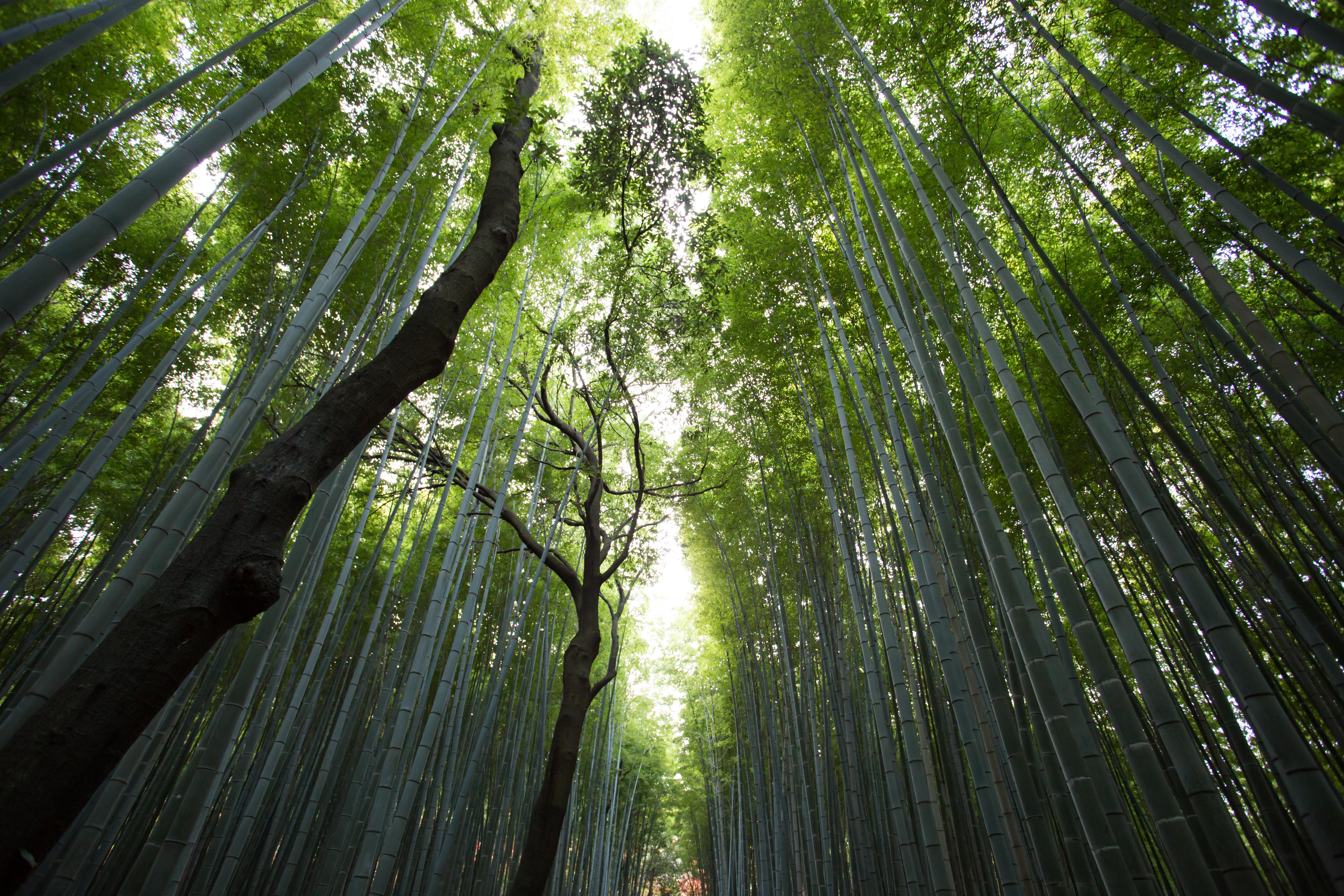 bambusiki